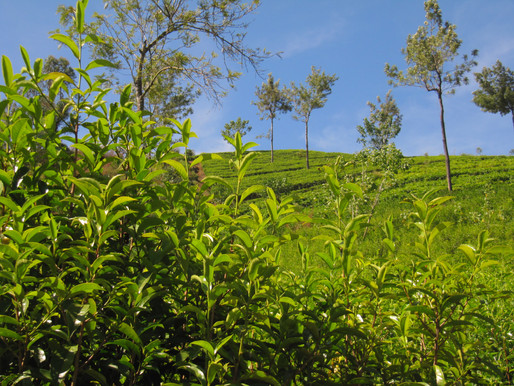 An Indonesian White Tea Bud Story