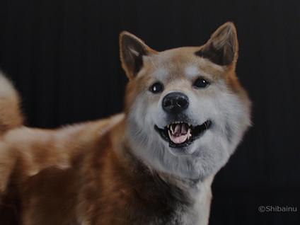 柴犬「まるくん」