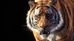 tiger_stillC_v016_tmp