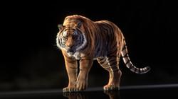 tiger_web