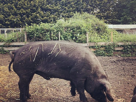 Meet the Pigs