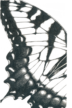 Macro butterfly wing