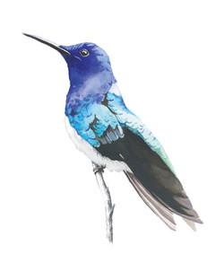 Jacobin Hummingbird