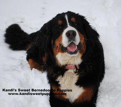 Bernedoodle Puppies, Bernedoodle Breeder 2014-2-2-10:16:53