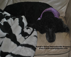 Bernedoodle Puppies, Bernedoodle Breeder 2014-2-2-17:45:21