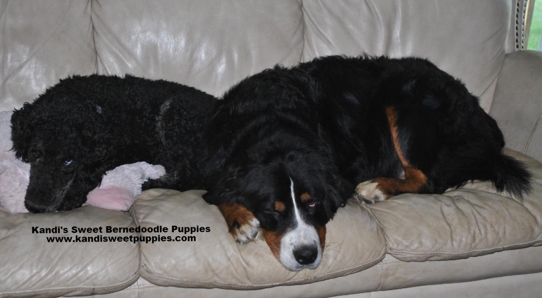Bernedoodle Puppies, Bernedoodle Breeder 2014-2-2-17:34:11