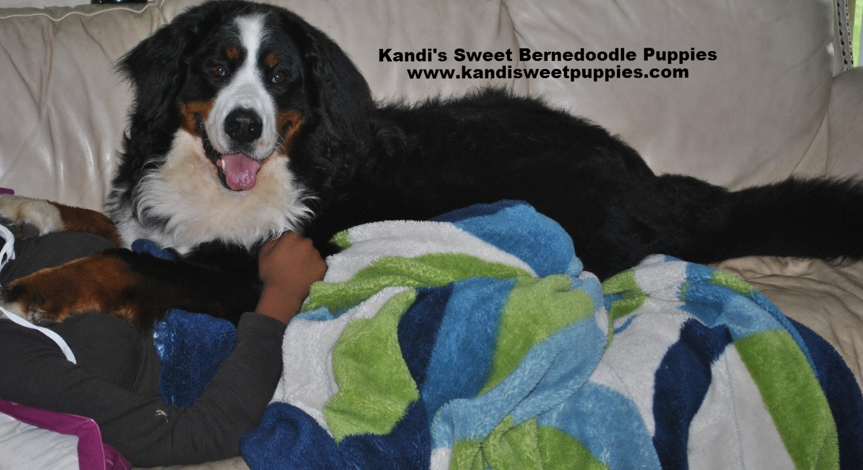 Bernedoodle Puppies, Bernedoodle Breeder 2014-2-2-17:36:45