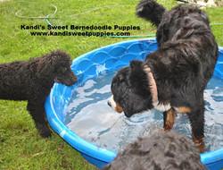 Bernedoodle Puppies, Bernedoodle Breeder 2014-2-2-17:31:20