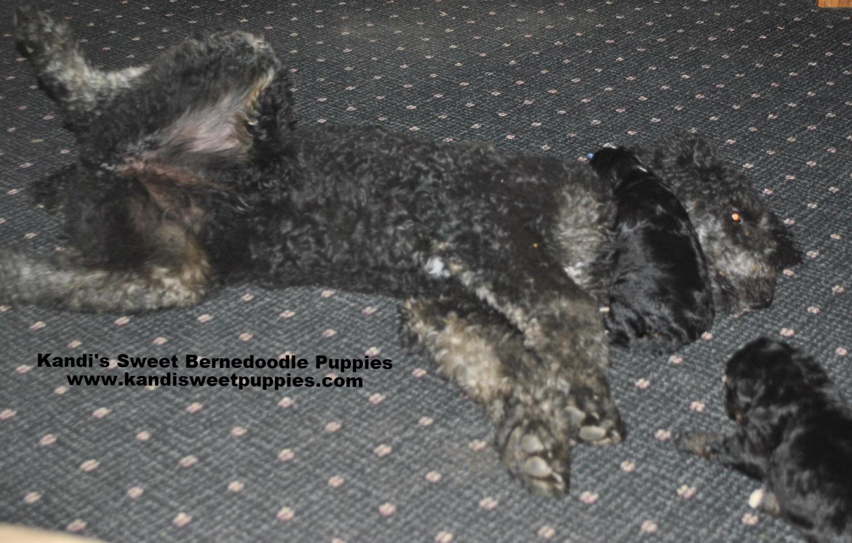Bernedoodle Puppies, Bernedoodle Breeder 2014-2-2-17:50:39