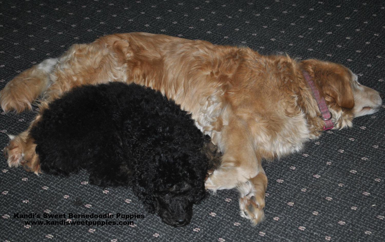 Bernedoodle Puppies, Bernedoodle Breeder 2014-2-2-17:29:27