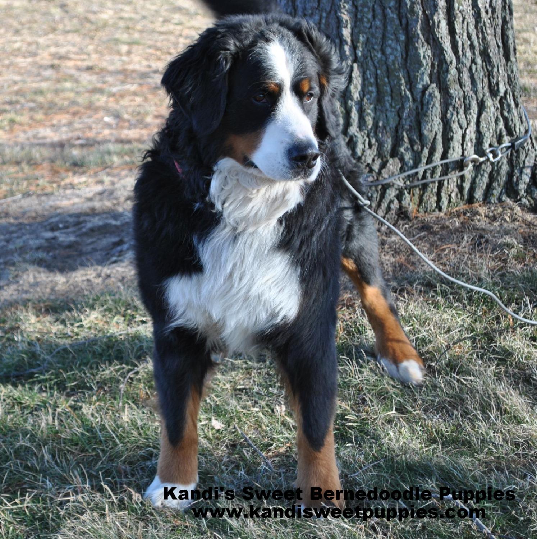 Bernedoodle Puppies, Bernedoodle Breeder 2014-2-2-10:27:11