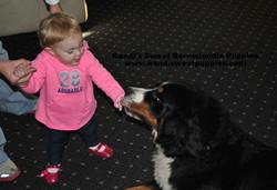 Bernedoodle Puppies, Bernedoodle Breeder 2014-2-2-10:22:32