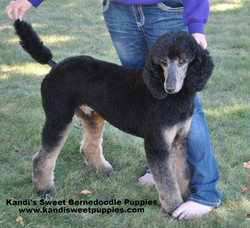 Bernedoodle Puppies, Bernedoodle Breeder 2014-2-2-10:13:46