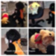 Bernedoodle Puppies, Bernedoodle Breeder