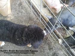 Bernedoodle Puppies, Bernedoodle Breeder 2014-2-2-17:48:2