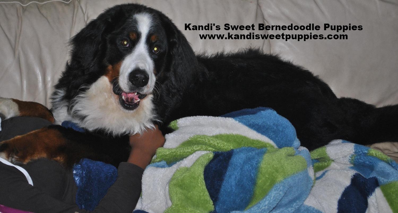 Bernedoodle Puppies, Bernedoodle Breeder 2014-2-2-10:25:3