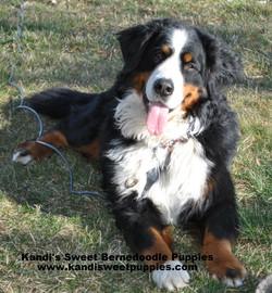 Bernedoodle Puppies, Bernedoodle Breeder 2014-2-2-10:20:54