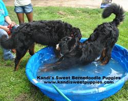 Bernedoodle Puppies, Bernedoodle Breeder 2014-2-2-10:24:24