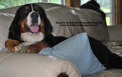 Bernedoodle Puppies, Bernedoodle Breeder 2014-2-2-17:41:12