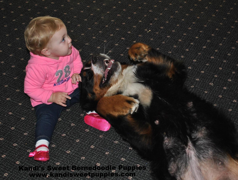 Bernedoodle Puppies, Bernedoodle Breeder 2014-2-2-17:42:58