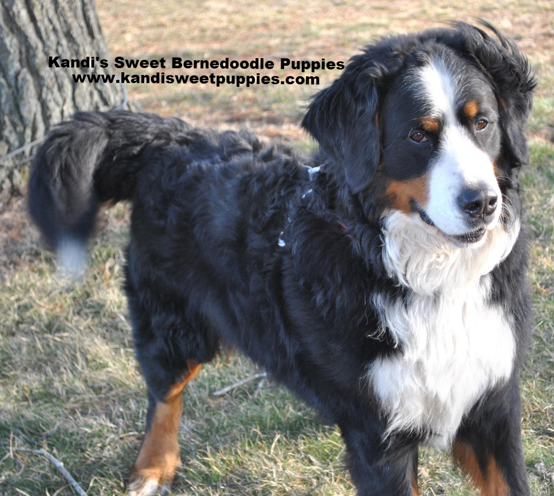 Bernedoodle Puppies, Bernedoodle Breeder 2014-2-2-17:33:20