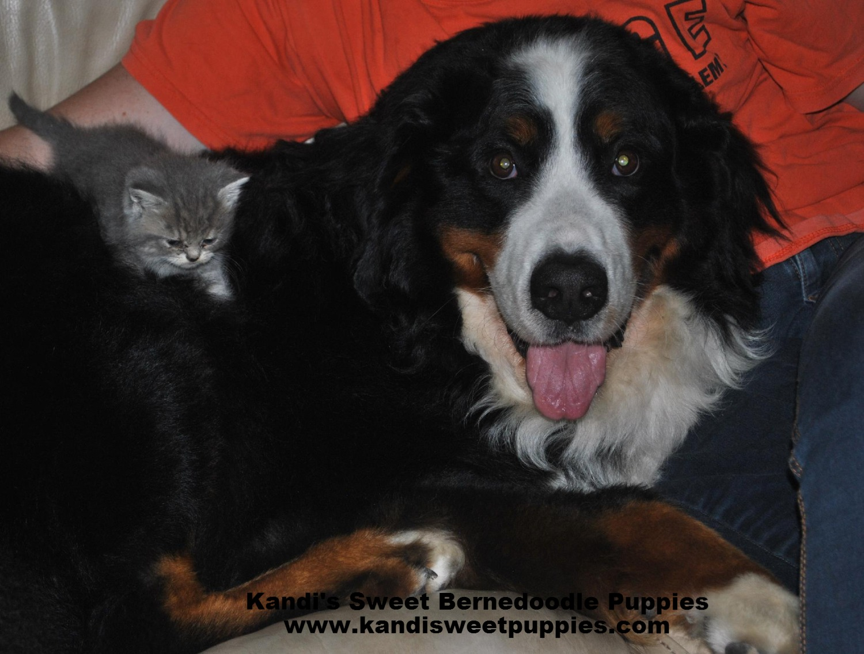 Bernedoodle Puppies, Bernedoodle Breeder 2014-2-2-17:28:35