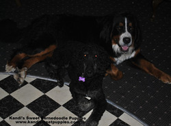 Bernedoodle Puppies, Bernedoodle Breeder 2014-2-2-17:40:13