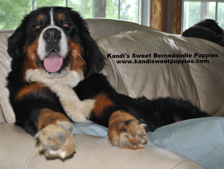 Bernedoodle Puppies, Bernedoodle Breeder 2014-2-2-10:21:49