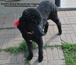 Bernedoodle Puppies, Bernedoodle Breeder 2014-2-2-17:47:7