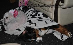 Bernedoodle Puppies, Bernedoodle Breeder 2014-2-2-17:30:29