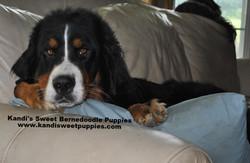 Bernedoodle Puppies, Bernedoodle Breeder 2014-2-2-10:28:9