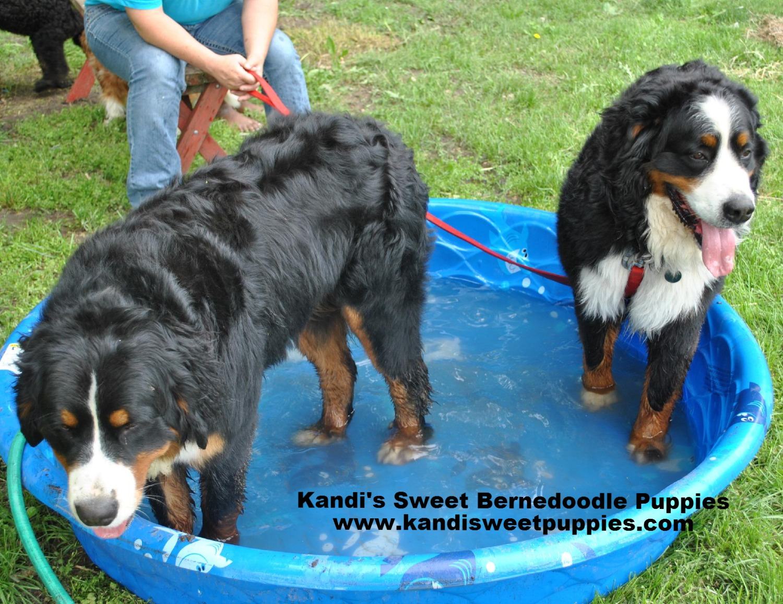 Bernedoodle Puppies, Bernedoodle Breeder 2014-2-2-17:26:52