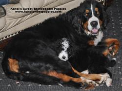 Bernedoodle Puppies, Bernedoodle Breeder 2014-2-2-17:49:17
