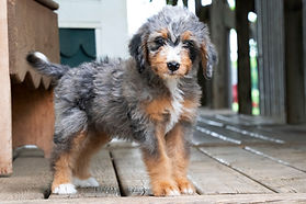 Kandis Sweet Bernedoodle Puppies Pricing And Colors