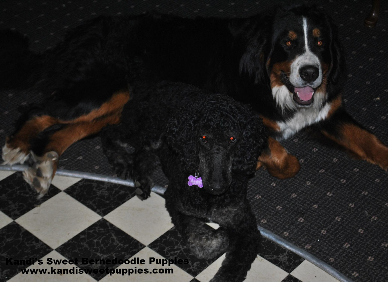 Bernedoodle Puppies, Bernedoodle Breeder 2014-2-2-17:46:7