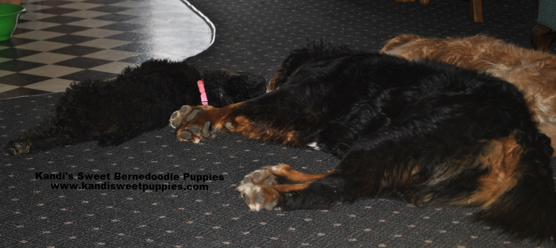 Bernedoodle Puppies, Bernedoodle Breeder 2014-2-2-17:22:18