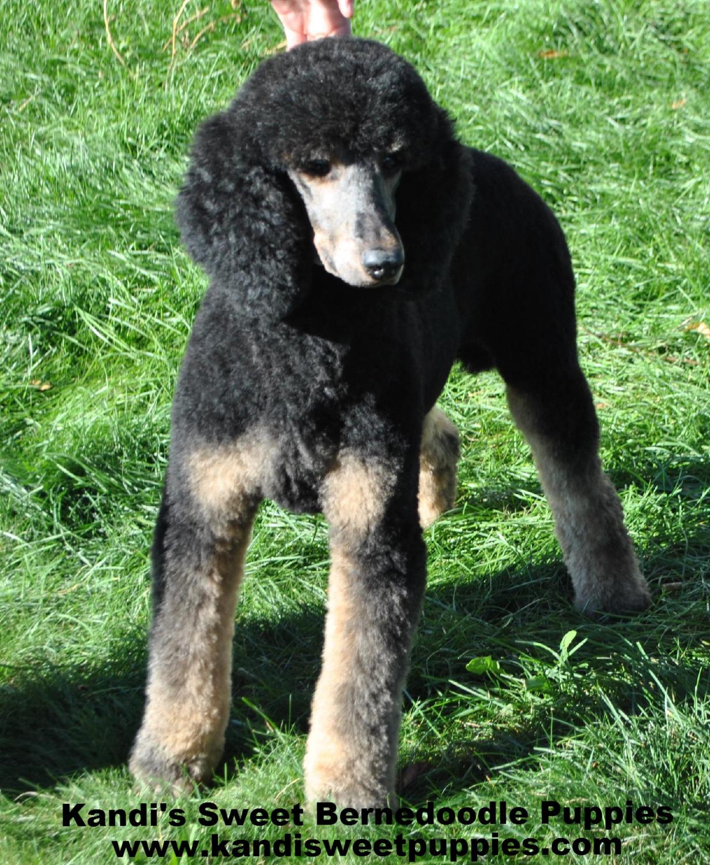 Bernedoodle Puppies, Bernedoodle Breeder 2014-2-2-10:15:52