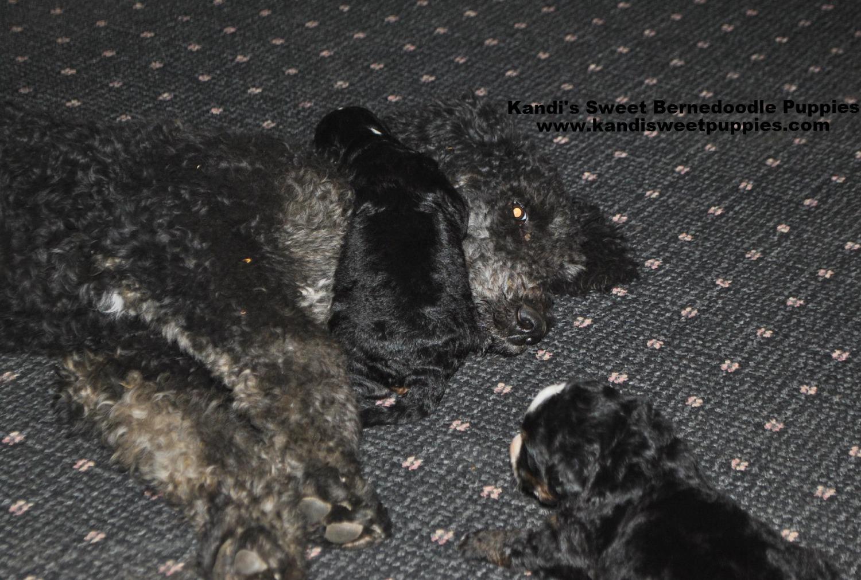 Bernedoodle Puppies, Bernedoodle Breeder 2014-2-2-17:37:42
