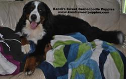 Bernedoodle Puppies, Bernedoodle Breeder 2014-2-2-17:23:17