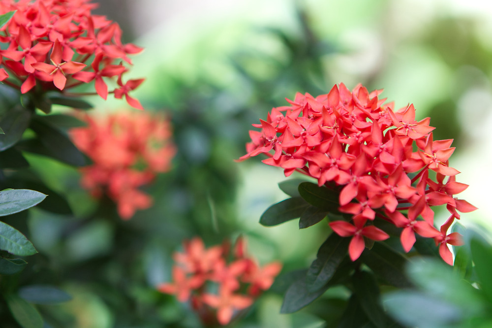 Small red flowers with dark green leaves