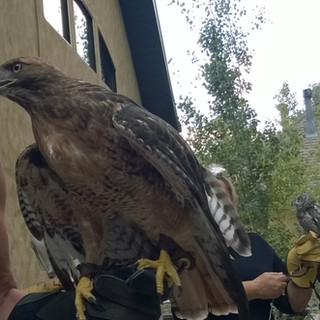 Red Tail Hawk at Achieve Today Bird Release