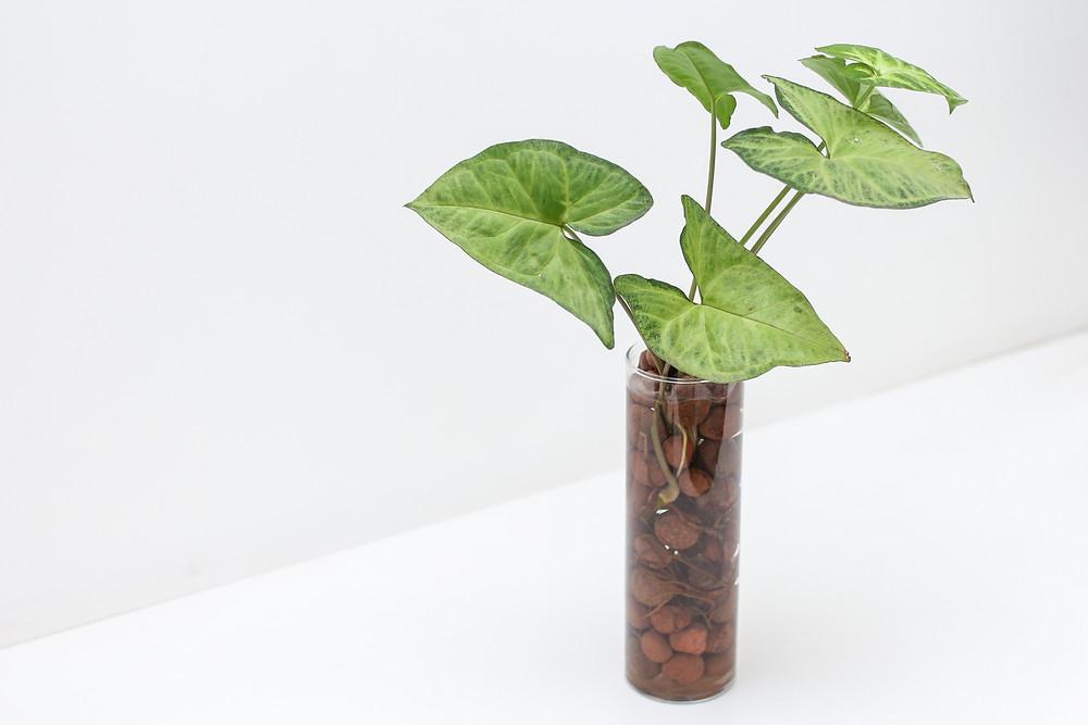 Foto de Singônio em arranjo feito com argila expandida em vaso de vidro