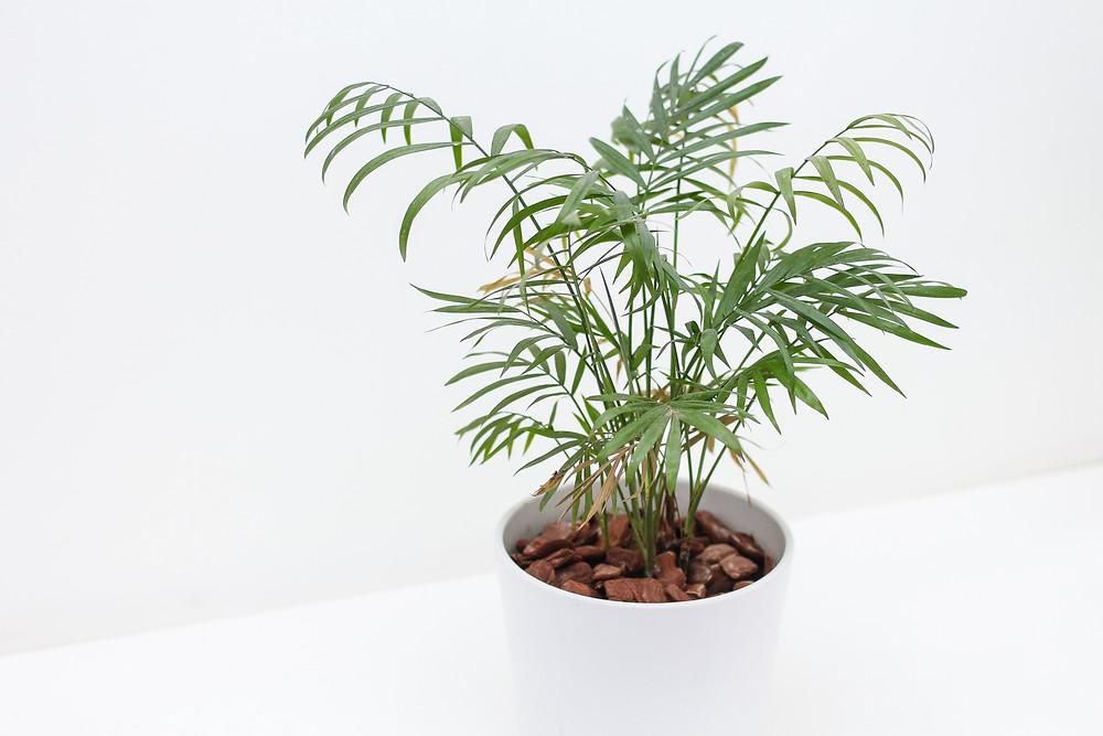 Foto de palmeira em vaso na sombra dentro de casa