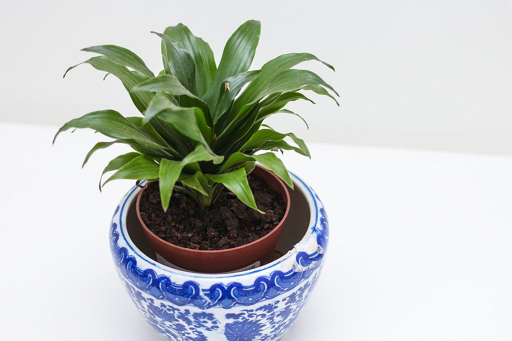 Foto de Dracena Compacta em vaso na sombra dentro de casa