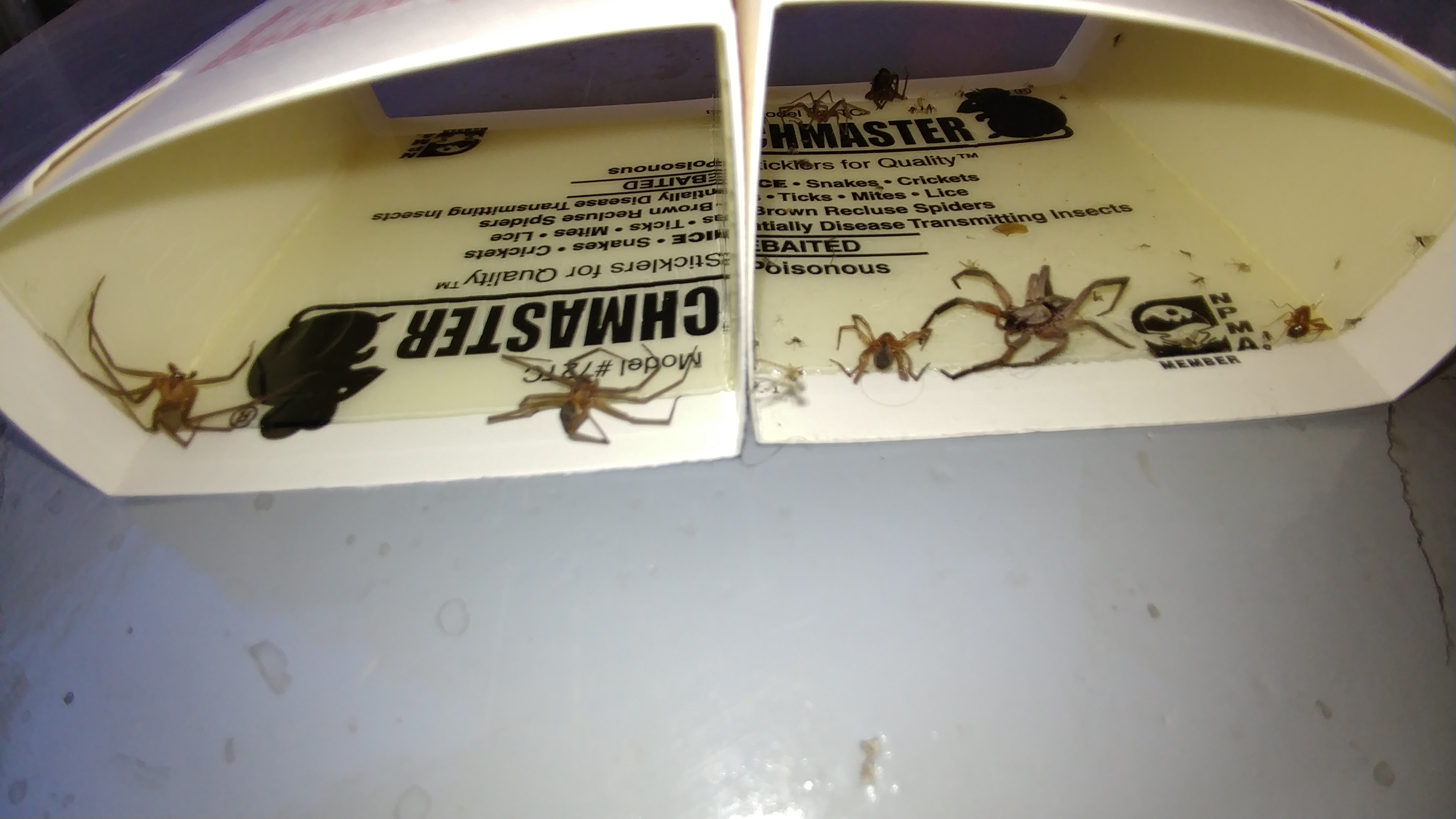 Brown Recluse Vs. Wolf Spider
