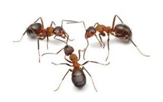 Supercolony Ants Pest Control in Boca Raton and Delray Beach, Florida