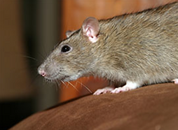 Rodent pest control in Boca Raton and Delray Beach, Florida