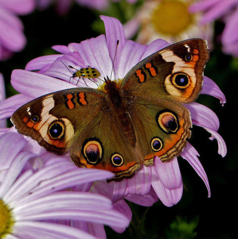 """Butterfly and Ladybug sharing space      by Peggy Opalek Digital Photograph 12"""" x 12"""" (framed)"""