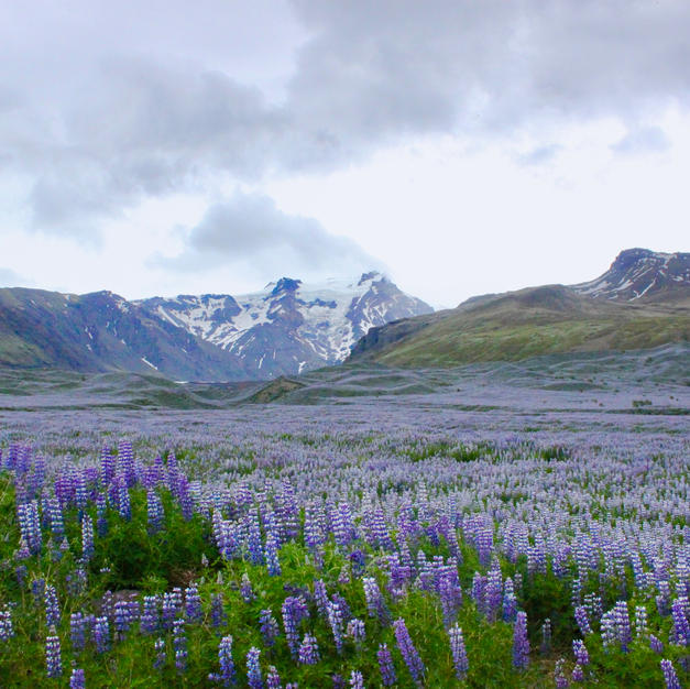 """Iceland in Bloom by Bonnie Rosenstock Photograph  8"""" x 10"""" (matted)"""