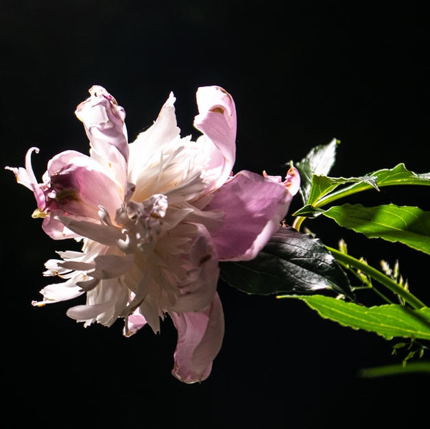 """Light on Peony by Maribel Perez Photograph 11"""" x 16"""" (matted/framed)"""